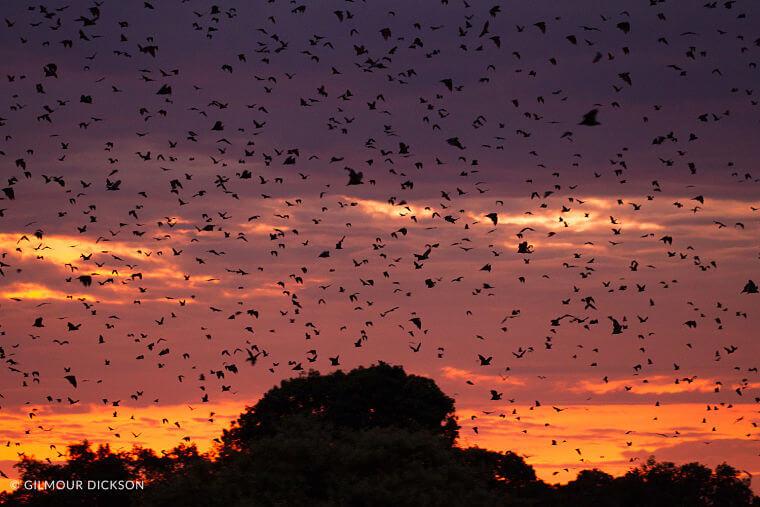 Vleermuismigratie bij zonsondergang in Kasanka National Park Zambia