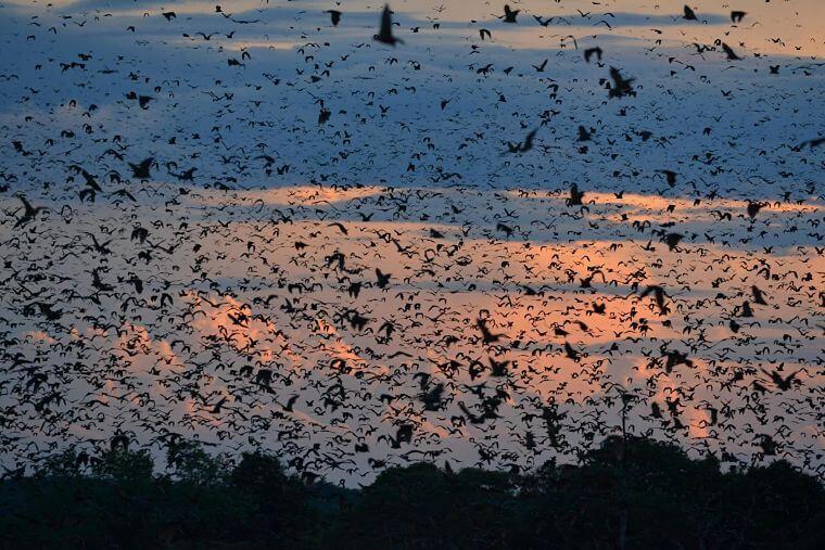 Vleermuismigratie in Kasanka National Park Zambia