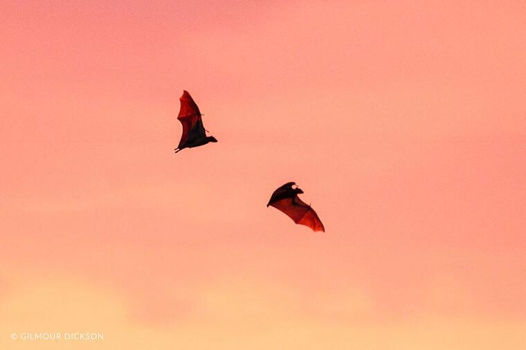 Vleermuizen tijdens migratie in Kasanka National Park Zambia
