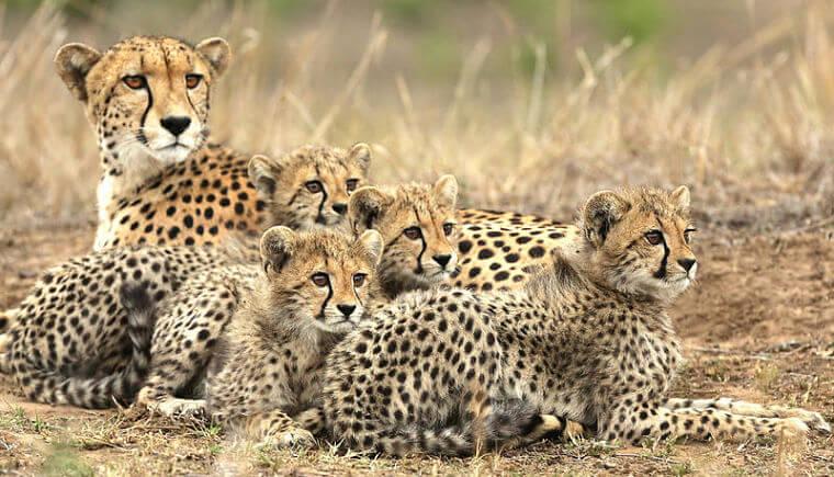 Cheetahs bij Phinda Forest Lodge Zuid-Afrika