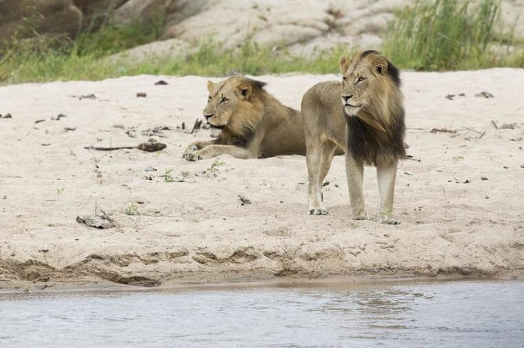 Leeuwen bij andBeyond Kirkman's Kamp Sabi Sand Zuid-Afrika