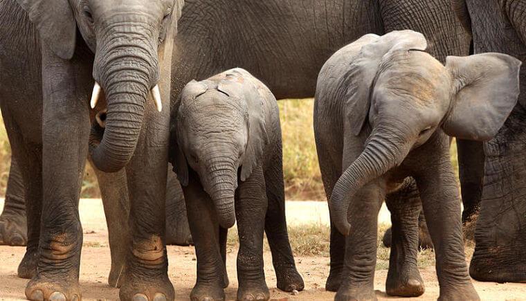 Olifanten bij Phinda Forest Lodge Zuid-Afrika