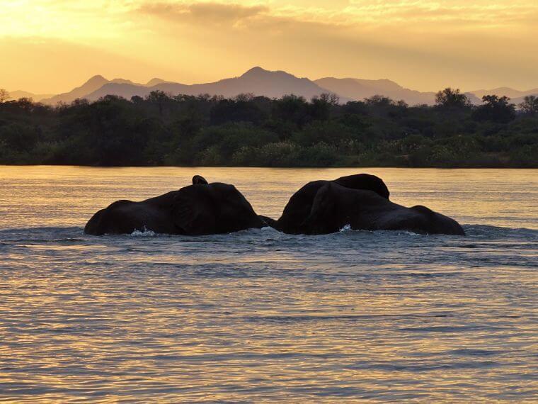 Spelende olifanten in de Zambezi rivier Zambia