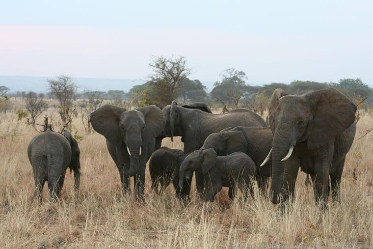 Tarangire National Park olifanten speeltuin van Tanzania