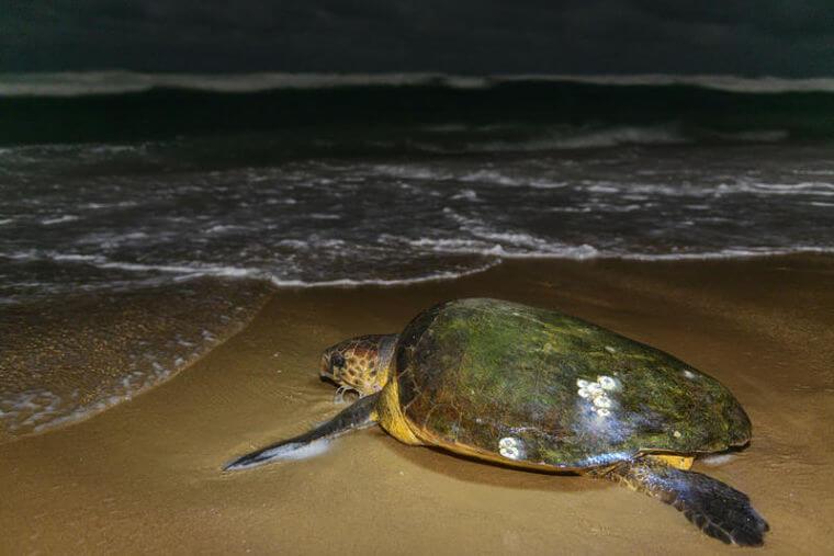 Thonga Beach Lodge Zuid-Afrika zeeschildpad
