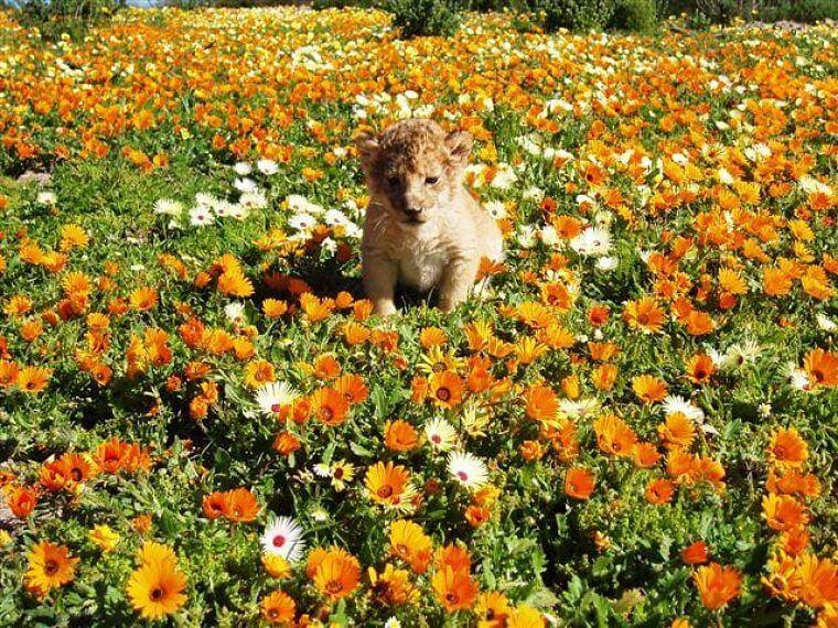 West Kaap Zuid-Afrika leeuwen welpje in bloemenveld