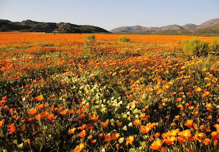 West Kaap Zuid-Afrika velden met wilde bloemen