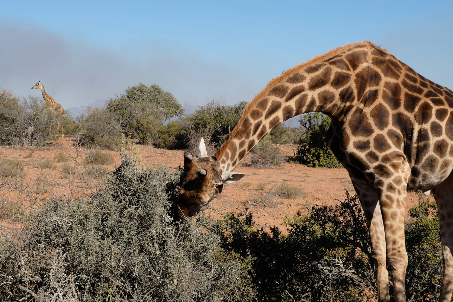 Garden Route, Giraffe in Buffelsdrift Game Reserve, Zuid-Afrika