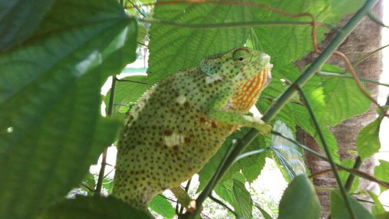 Kameleon in Udzungwa National Park (@ Udzungwa Forest Camp)