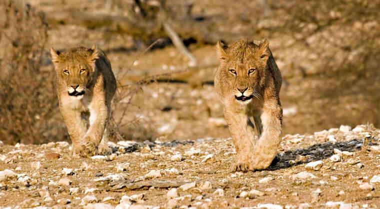 Leeuwen welpjes in Northern Tuli Game Reserve Botswana