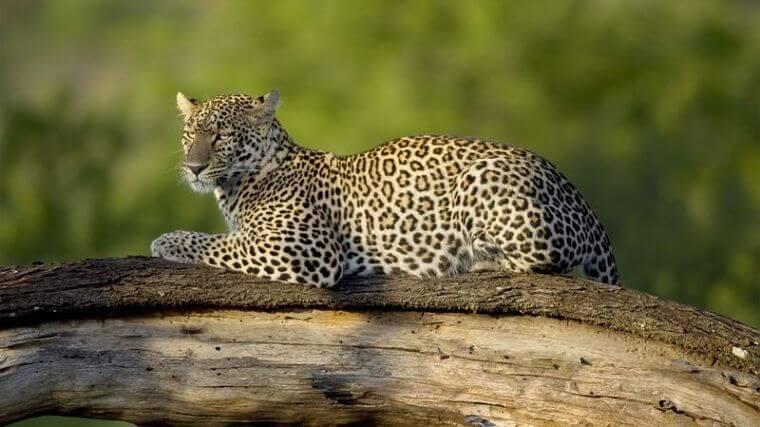 Luipaard op tak in Kruger National Park Zuid-Afrika