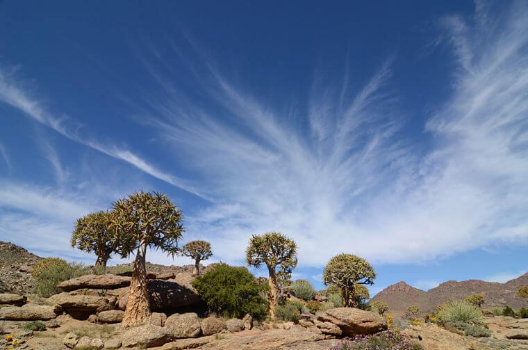Noord Kaap Zuid-Afrika Quiver trees (kokerbomen)