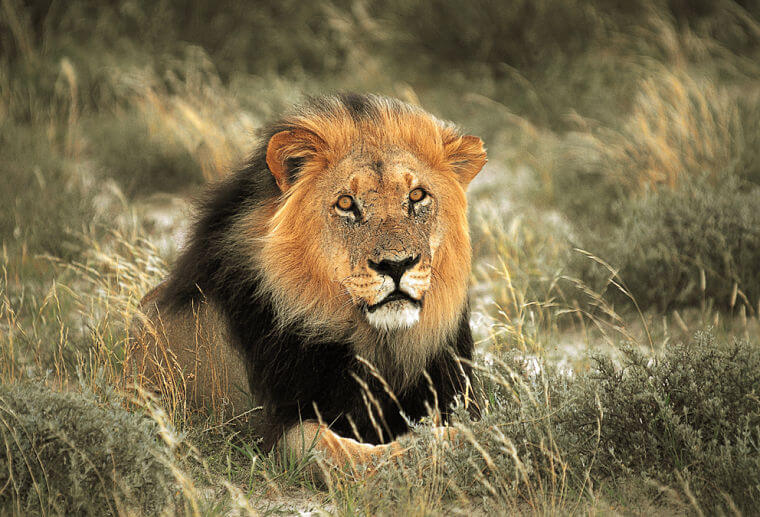 Zwarte Kalahari leeuw in Noord Kaap Zuid-Afrika