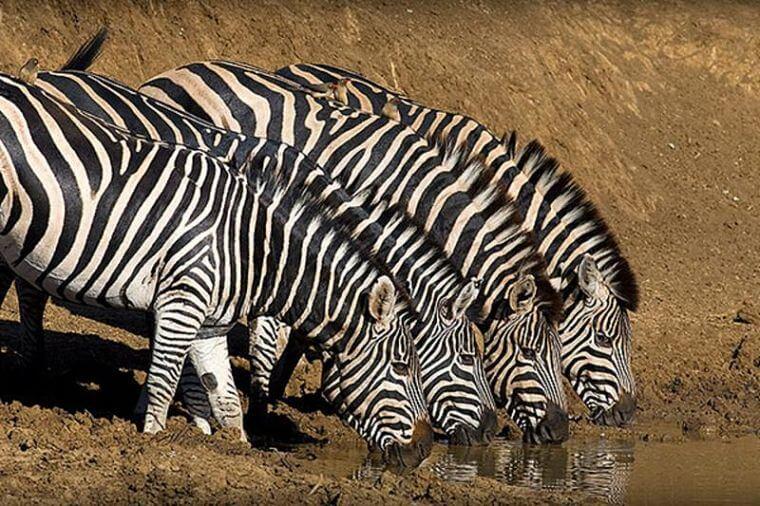 Zebra's in het Black Rhino Game Reserve Zuid-Afrika
