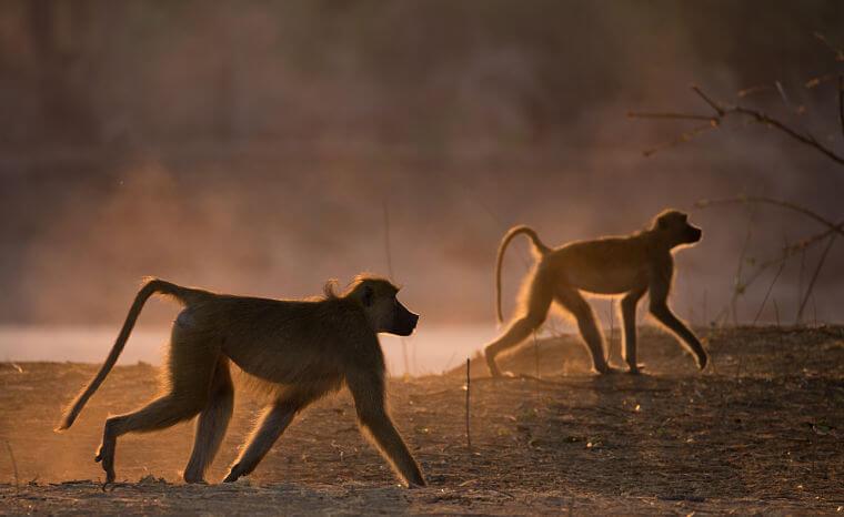 Bavianen tijdens wildlife fotosafari in Zambia