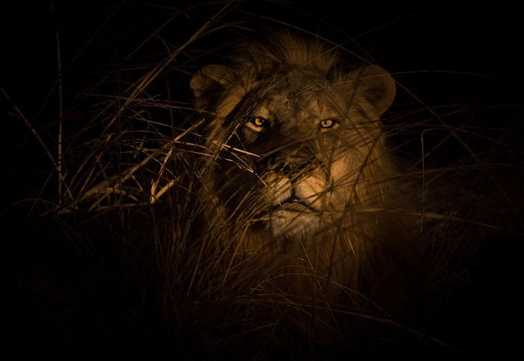 Leeuw in de nacht tijdens wildlife fotosafari Zambia