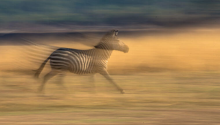 Zebra in actie in South Luangwa National Park Zambia