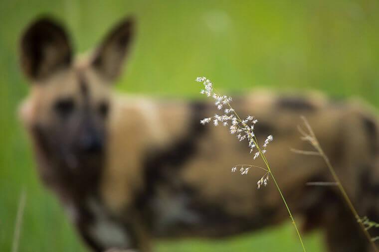 Afrikaanse wilde honden in Linyanti eco-systeem Botswana