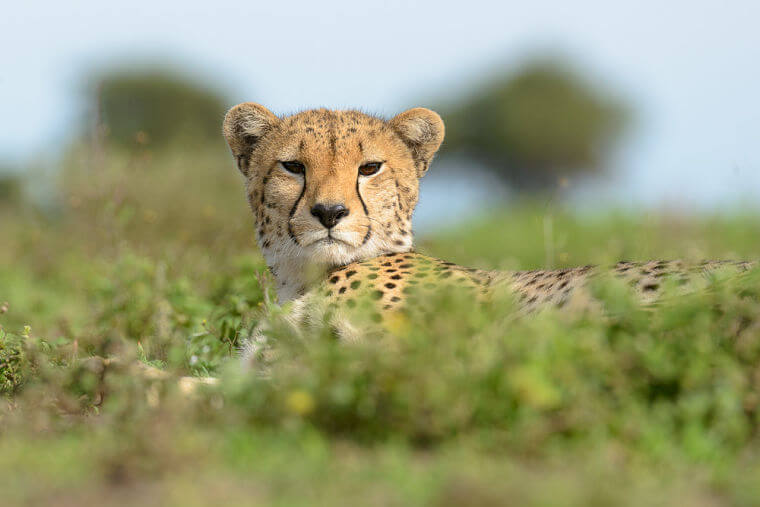 Cheetah observeert geboortegolf in Serengeti National Park Tanzania