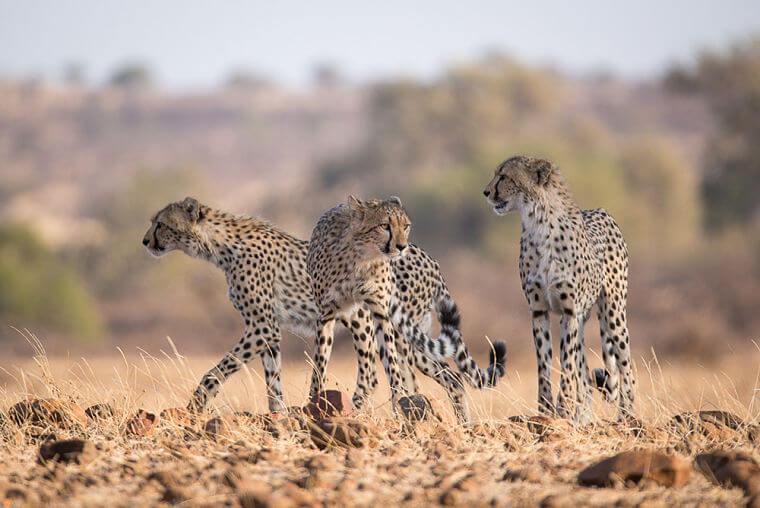 Cheetahs bij Mashatu Botswana tijdens wildlife fotosafari