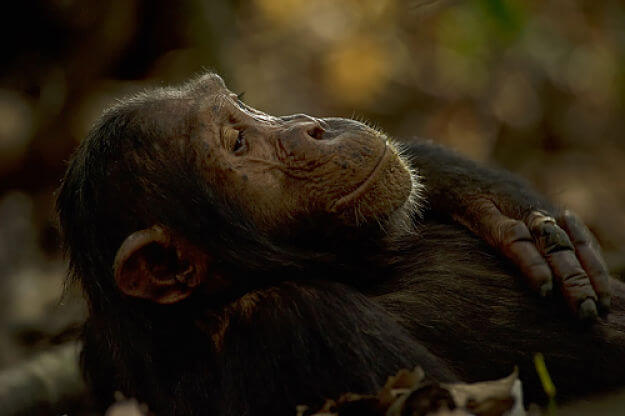 Chimpansee baby in Mahale National Park Tanzania