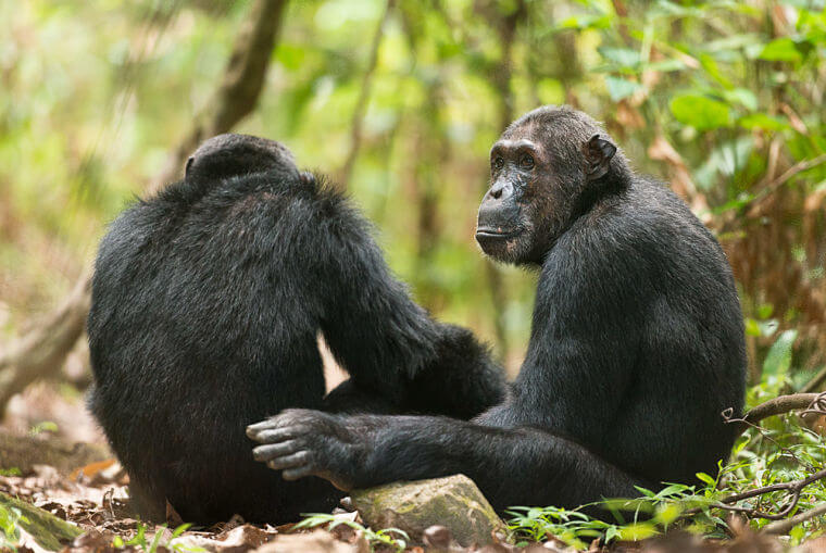 Chimpansees in Mahale National Park Tanzania
