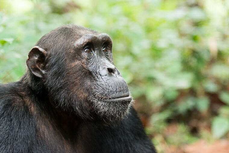 Close up chimpansee in Mahale National Park Tanzania