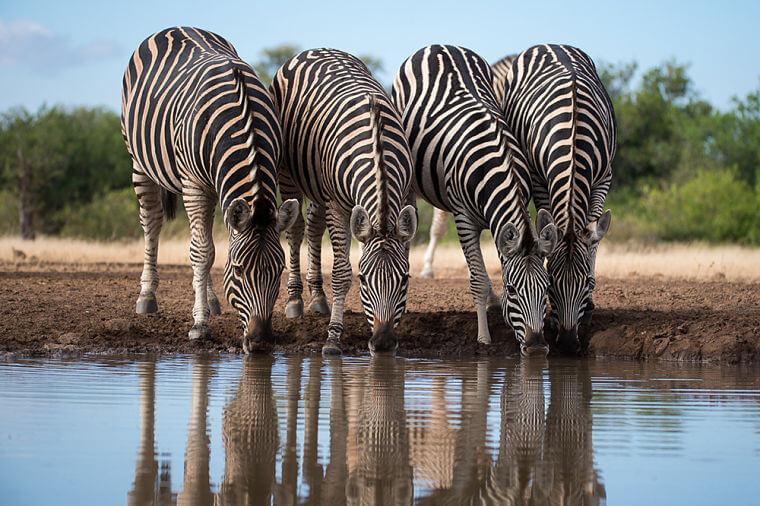 Drinkende zebra's bij Mashatu Game Reserve Botswana