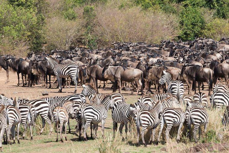 Grote migratie gnoes en zebra's in Masai Mara National Reserve Kenia
