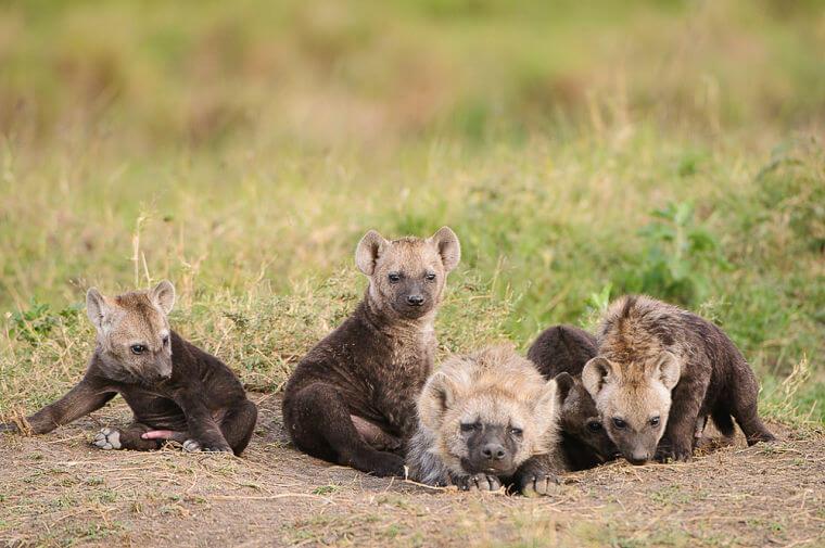 Jonge hyena's in Masai Mara National Reserve Kenia
