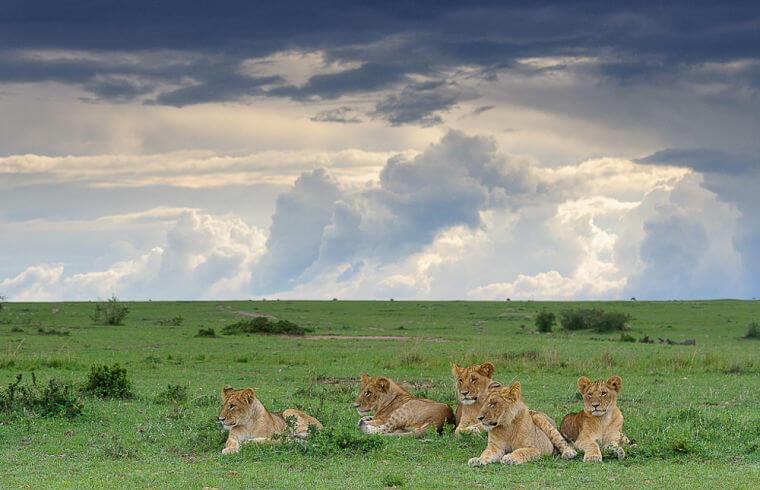 Leeuwen welpen in Masai Mara National Reserve Kenia