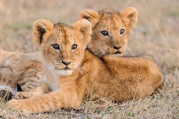 Leeuwen welpjes in Masai Mara National Reserve Kenia