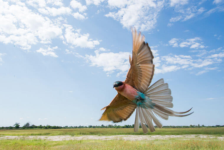 Lilac Brested Roller in Linyanti eco-systeem Botswana