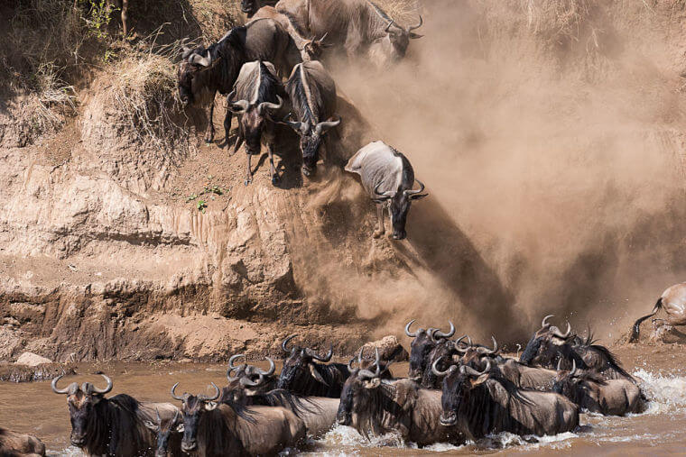 Mara river crossing gnoes in Masai Mara National Reserve Kenia