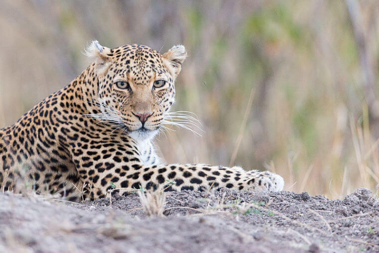 Oplettend luipaard in Masai Mara National Reserve Kenia