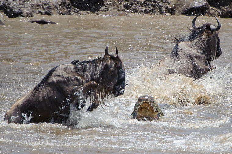 River crossing gnoes in Masai Mara National Reserve Kenia