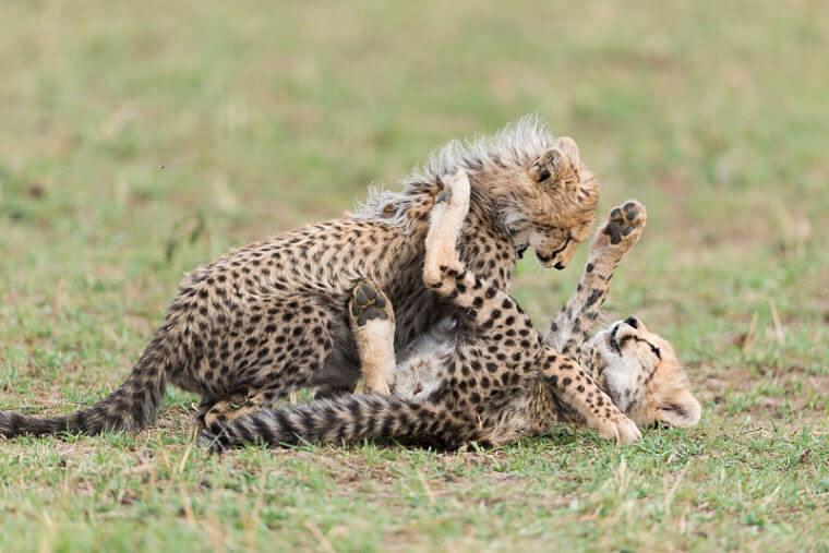 Spelende cheetah welpjes in Masai Mara National Reserve Kenia