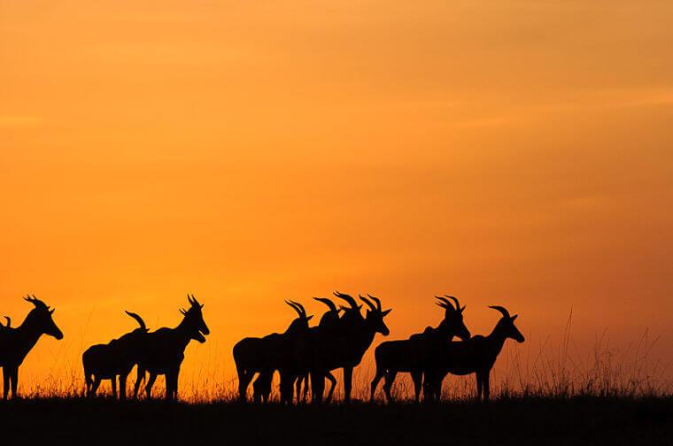 Topi's tijdens zonsondergang boven Masai Mara National Reserve Kenia