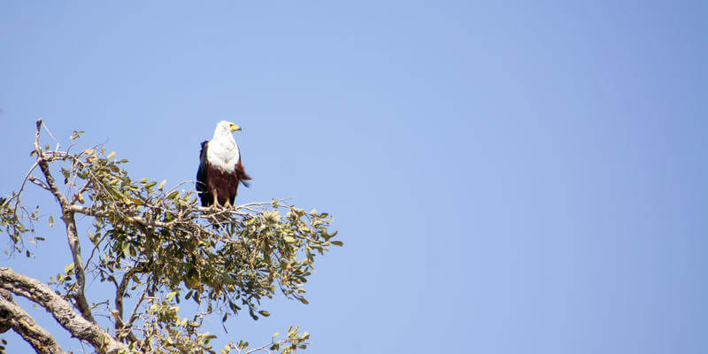 African Fish Eagle in Linyanti Botswana