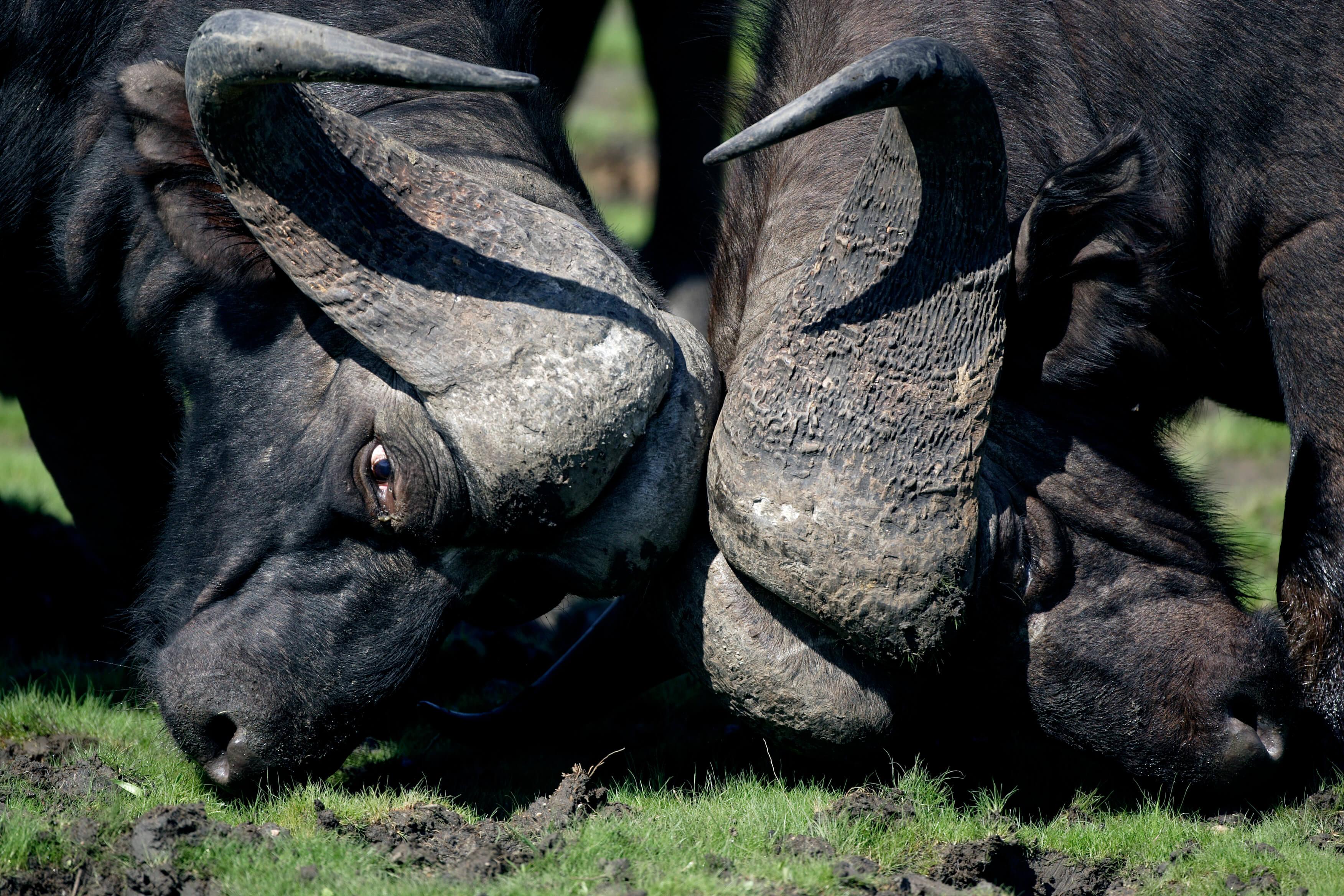 Buffels in Kwando Botswana