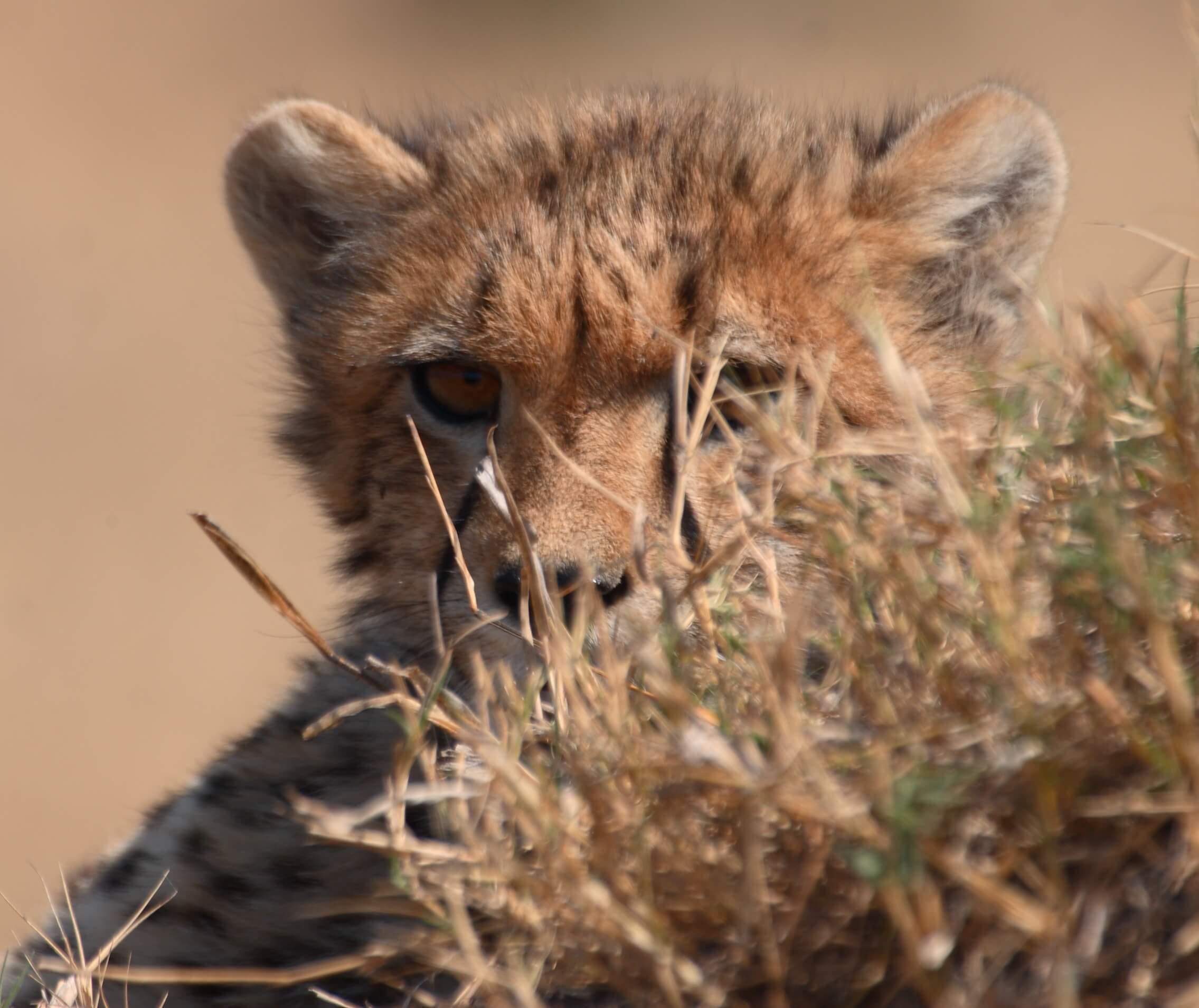 Cheetah welpje in Kwando Botswana