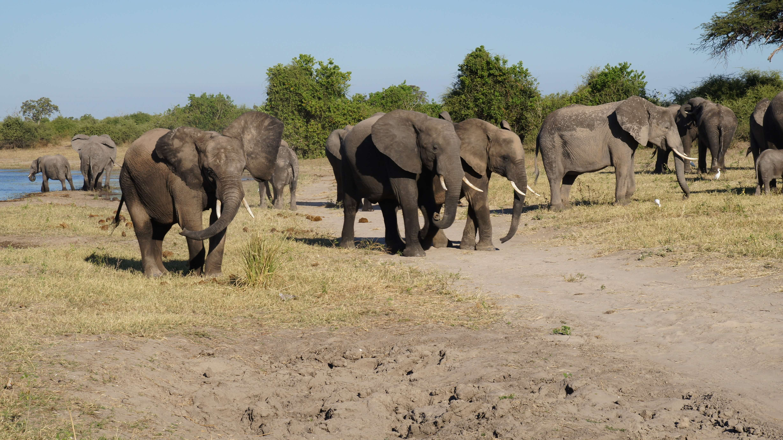 Olifanten op oever Chobe rivier Botswana