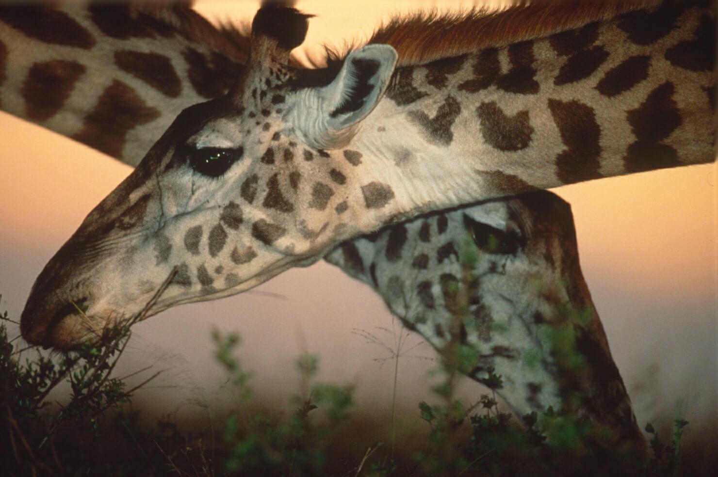 Giraffen in Kwando Botswana