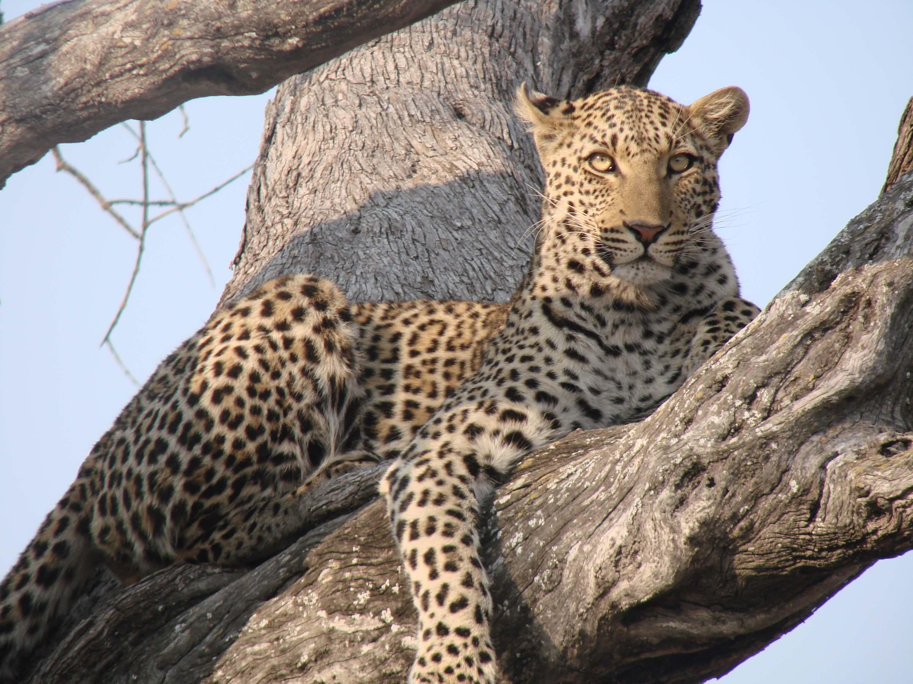 Luipaard in Selinda Botswana