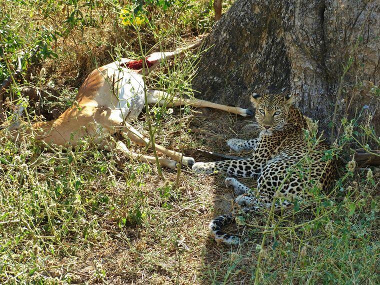 Luipaard met kill in Lower Zambezi National Park Zambia