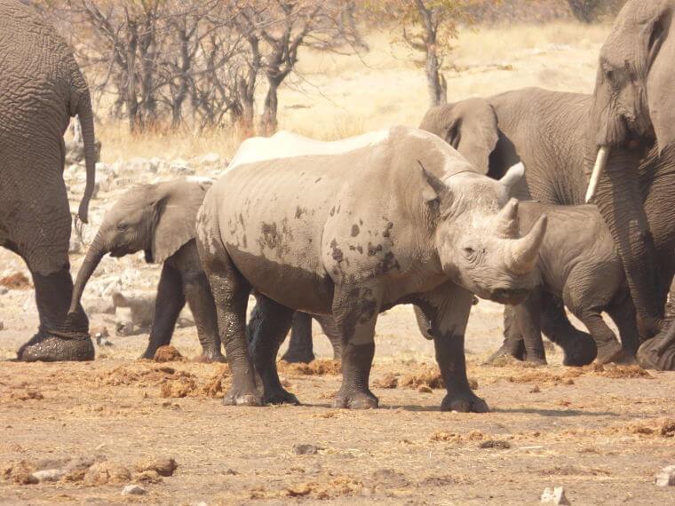 Neushoorns en olifanten bij waterhole Halali in Etosha National Park Namibië