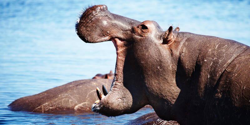 Nijlpaarden in Linyanti Botswana