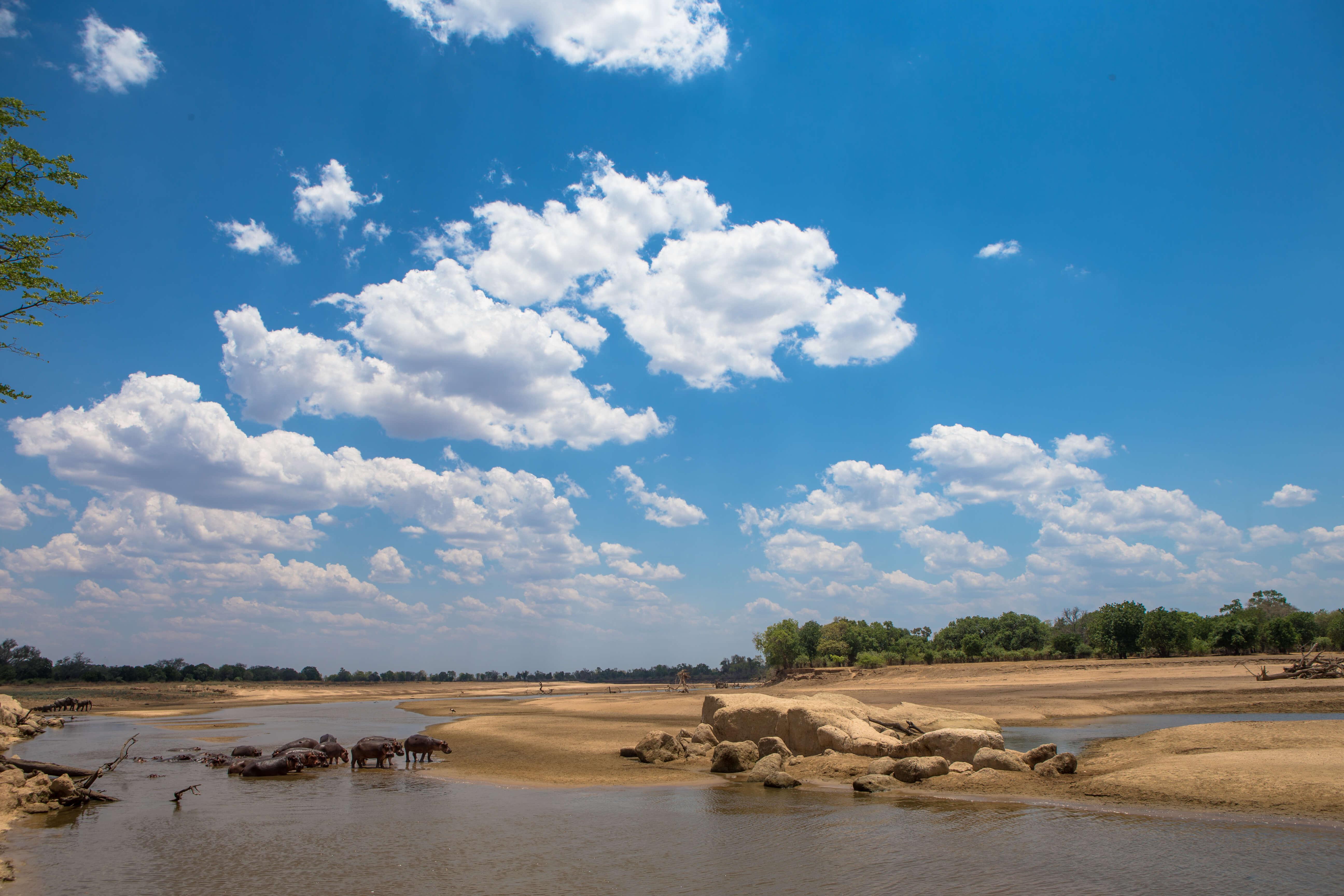 Nijlpaarden in de Luangwa rivier in Zambia