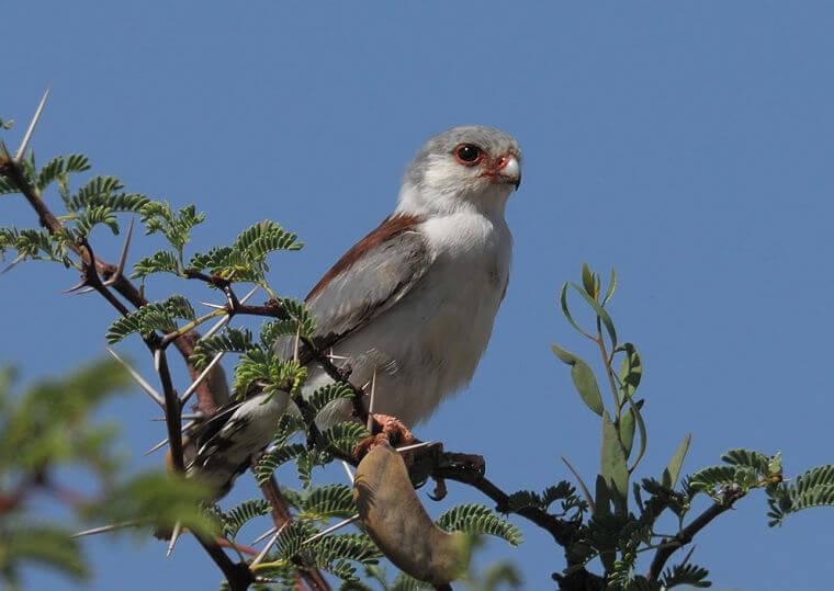 Pygmy falcon Noord Kaap Zuid-Afrika
