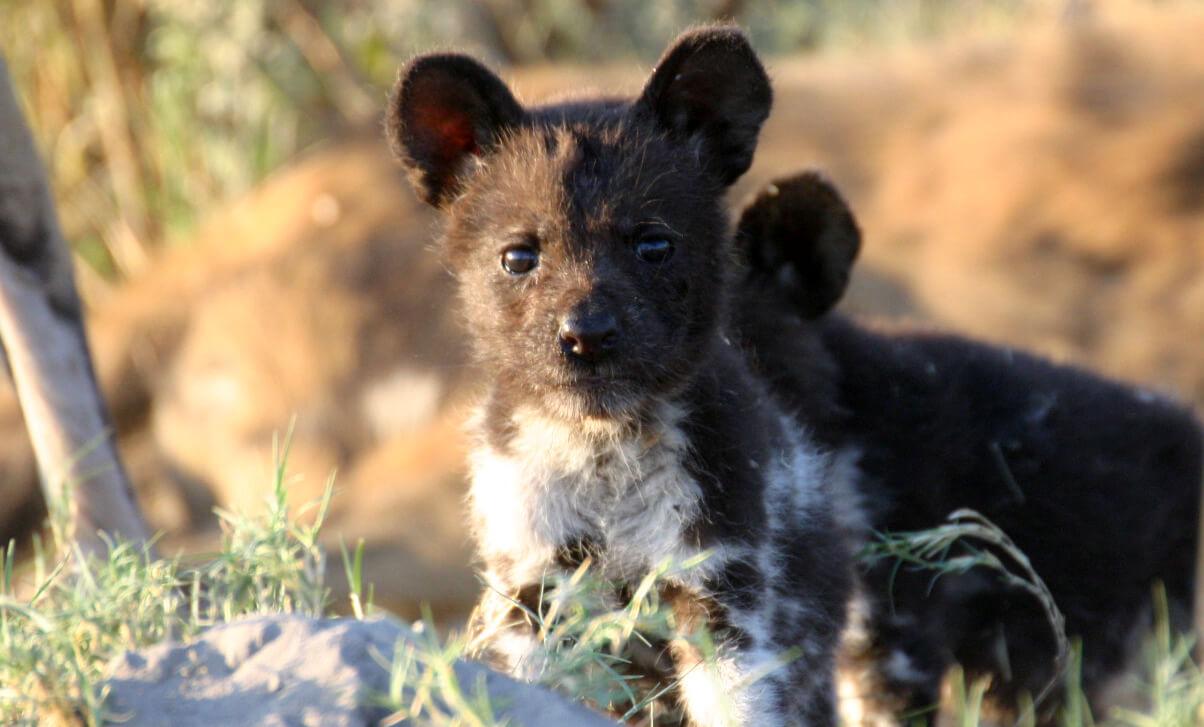 Pup Afrikaanse wilde honden in Kwando Botswana